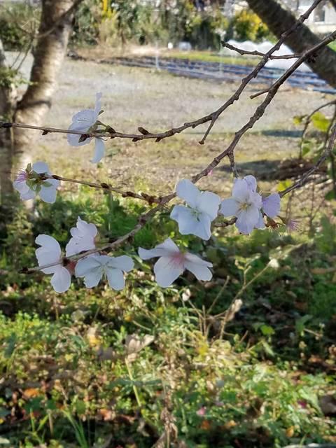 函南冬桜2.jpg