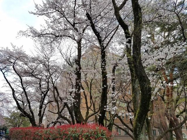 大学の桜.jpg
