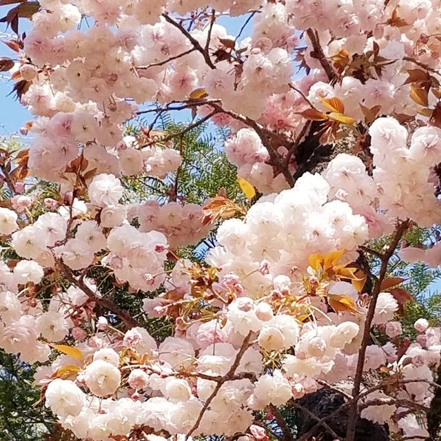護国寺の八重桜.jpg