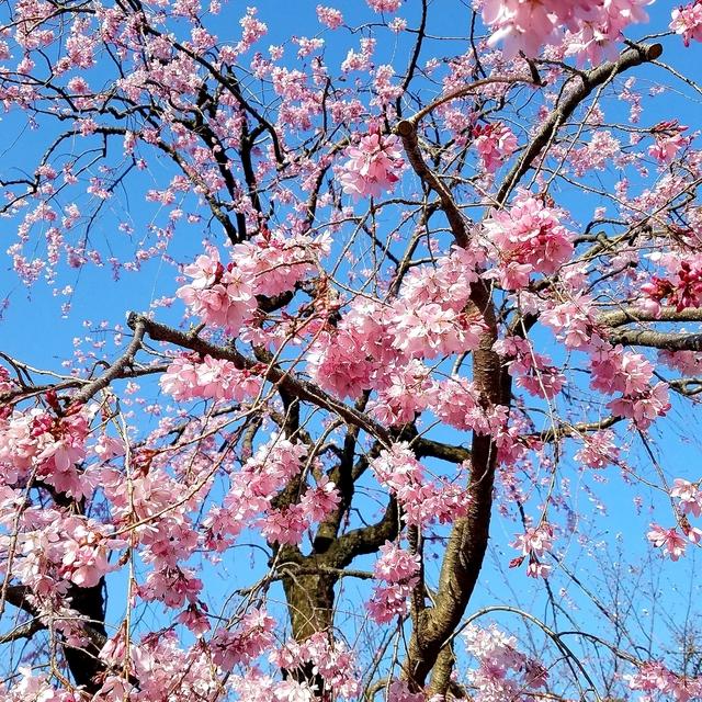護国寺の枝垂桜.jpg